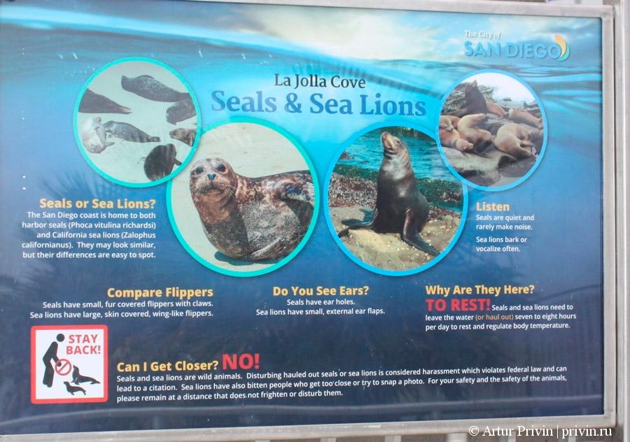 Чем-отличаются-морские-котики-от-морских-львов